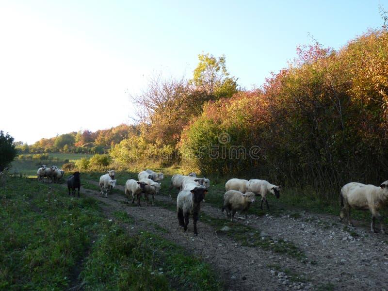 Красивое стадо пути овец идя стоковая фотография rf