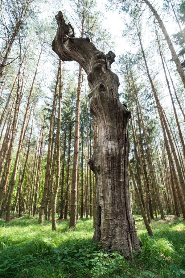Красивое сухое старое дерево в зеленой траве и высоких деревьях в предпосылке стоковые изображения rf