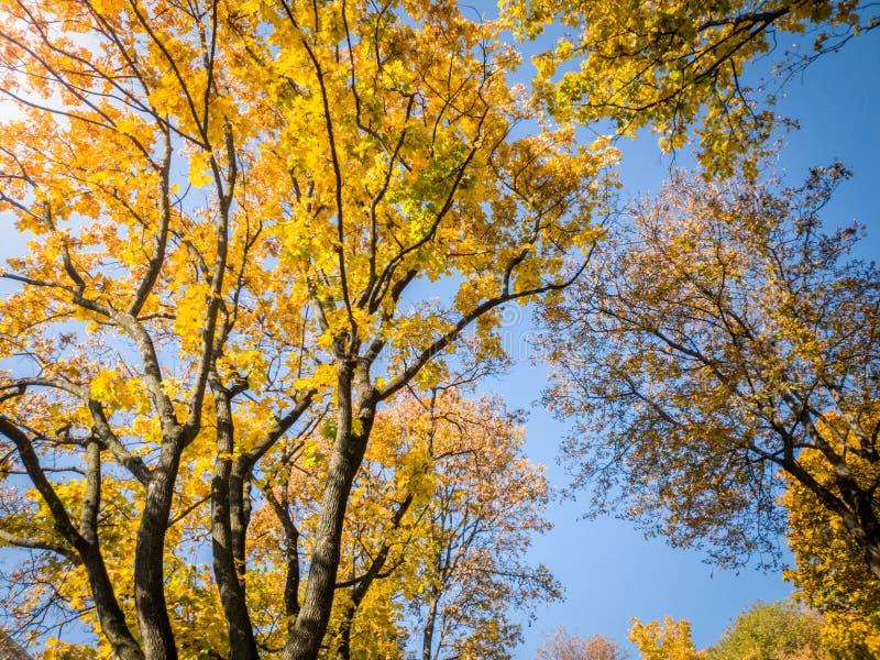 Красивое фото деревьев осени предусматриванных в желтых и красных листьях в лесе против яркого голубого неба стоковое изображение rf