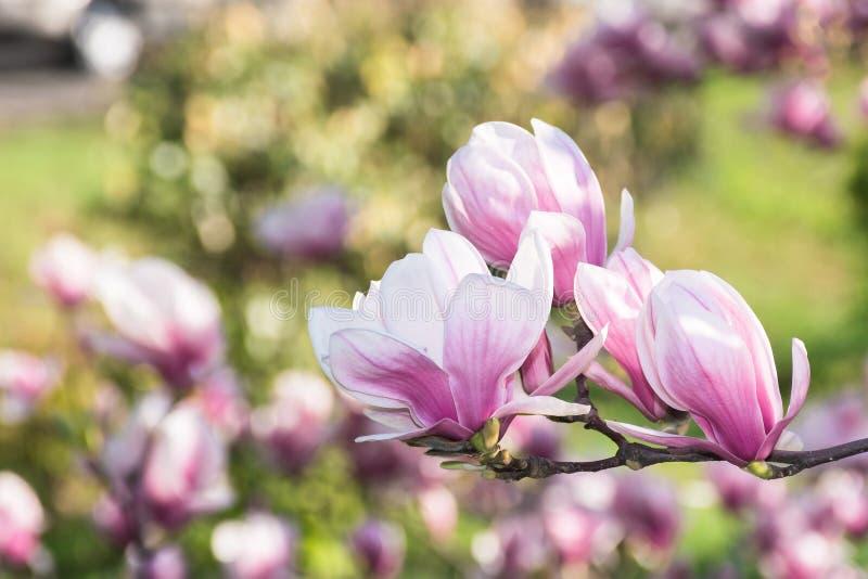 Красивое цветение дерева магнолии стоковое фото