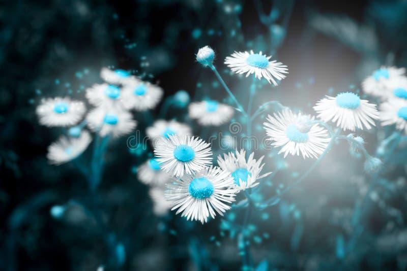 Красивое цветение цветка маргаритки на диком поле в свете захода солнца абстрактная природа предпосылки сфокусируйте мягко Творче стоковое изображение rf