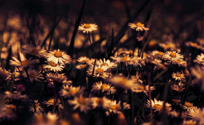 Красивое цветение цветка маргаритки на диком поле в свете захода солнца r Творческий темный низкий ключ тонизировал Шаблон поздра стоковые изображения rf