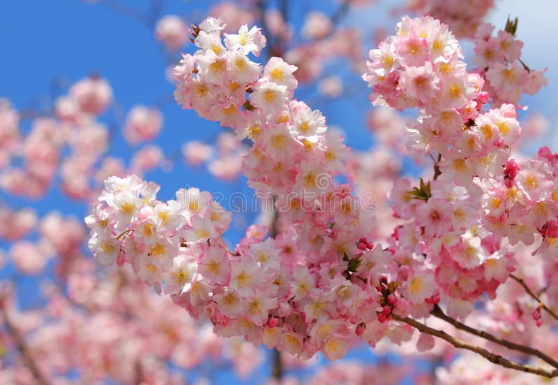 Красивое цветение яблока в весеннем времени стоковое фото rf