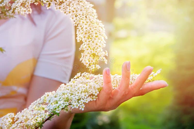 Красивое цветя spirea кустарника Предпосылка с цветками на весенний день, заход солнца Рука с ветвью на переднем плане стоковое изображение