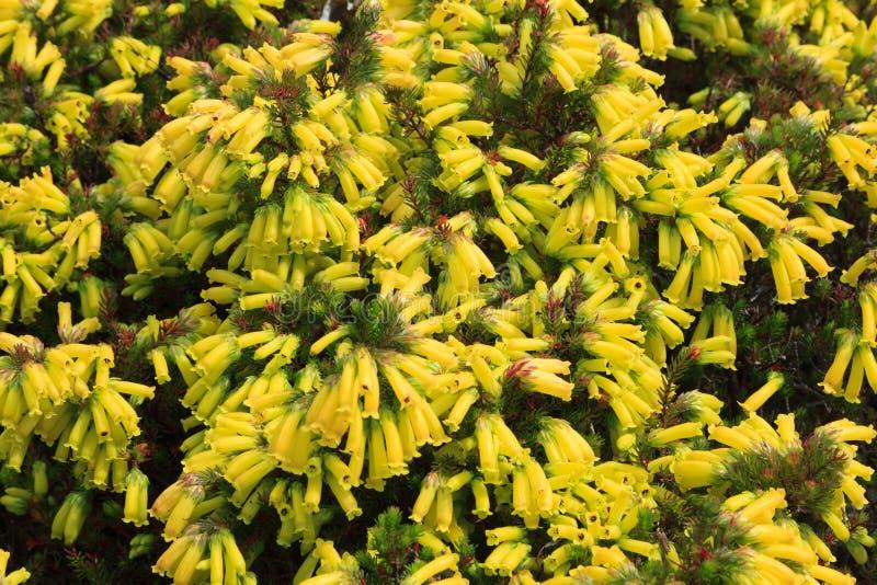 Красивое Эрика Nana в саде Kirstenbosch национальном ботаническом стоковое фото