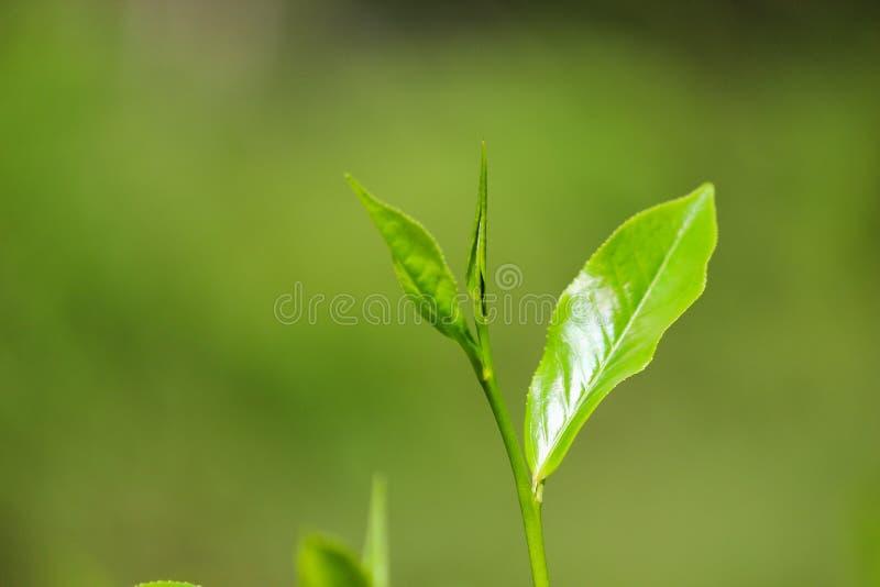 Красивое anka sri листьев чая i стоковое фото rf