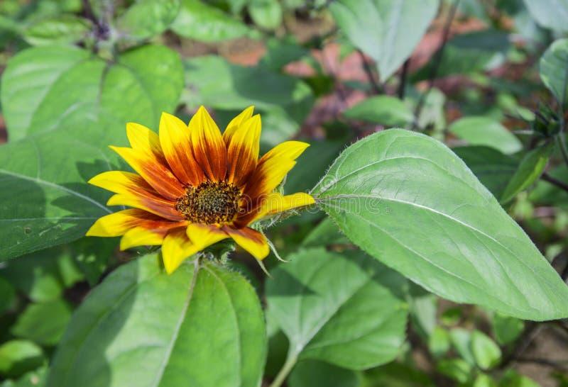 Красивое annuus подсолнечника солнцецвета зацветая в саде в осени стоковое фото rf
