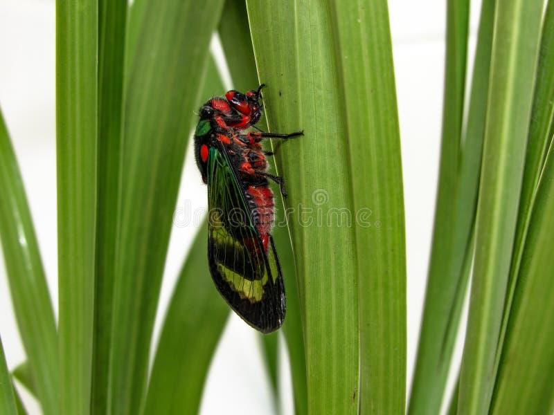 Красивое diardi Carineta цикады взбираясь завод стоковые изображения