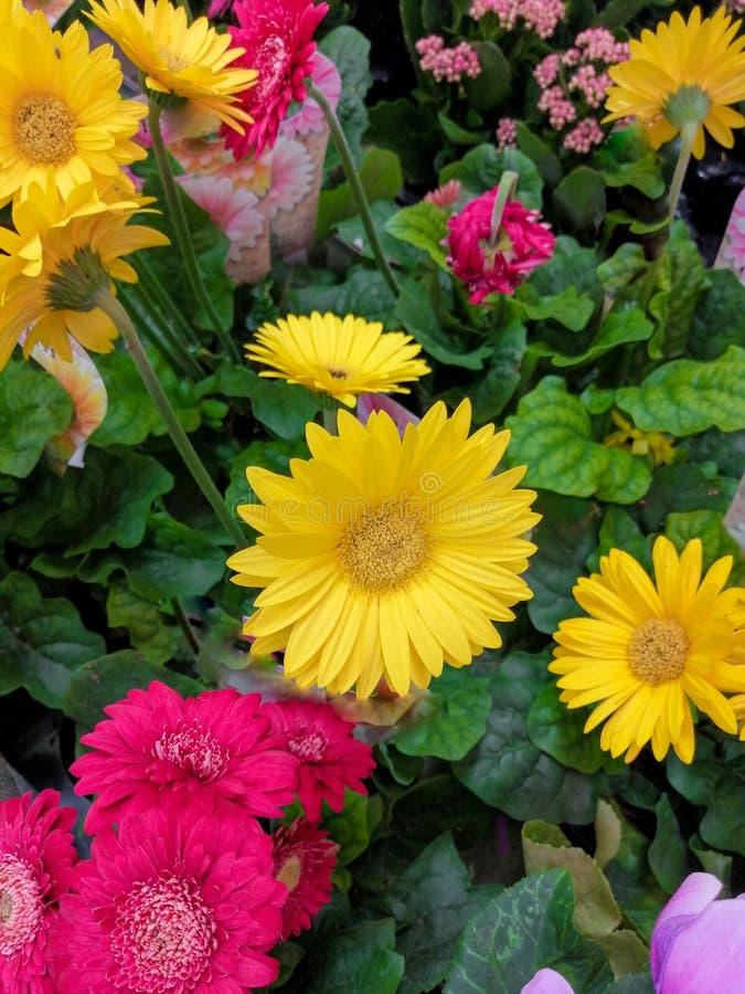 Красивое gerber цветка комнаты желтое розовое несколько цветков стоковое фото