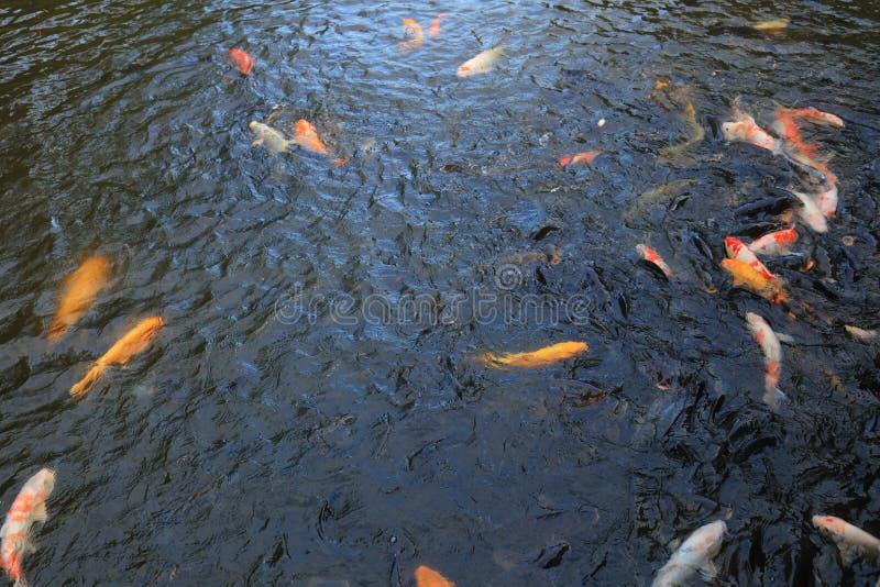 Красивое koi в пруде на традиционном саде стоковое изображение