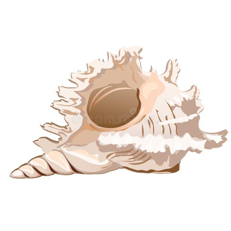 Красивое ramosus murex seashell или ramosus Chicoreus изолированное на белой предпосылке Объект конхологии иллюстрация штока