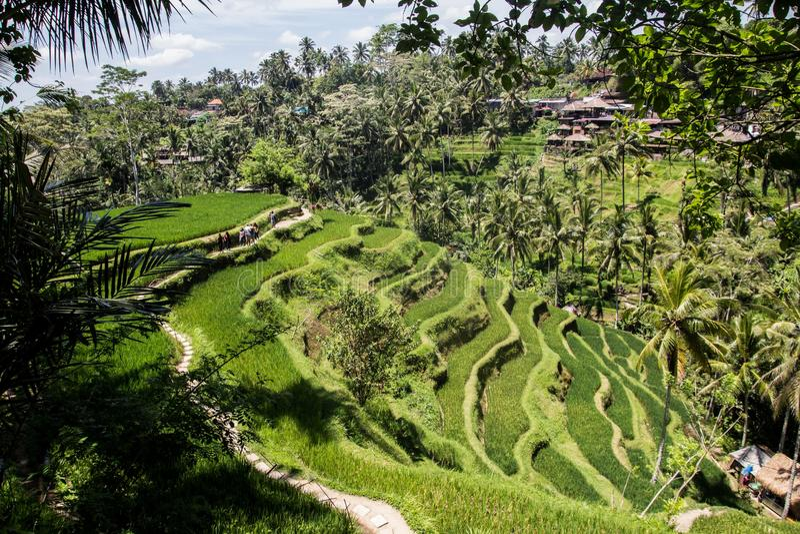 Красивое ricefield в центральном Бали, интерес деревни Ubud стоковое изображение rf