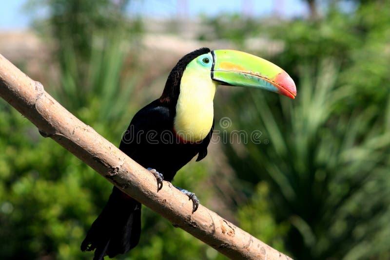 Красивое toucan положение в дереве стоковые фото