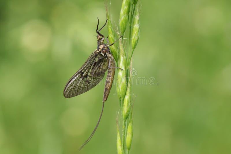 Красивое vulgata Ephemera подёнки садясь на насест на семенах травы стоковые изображения