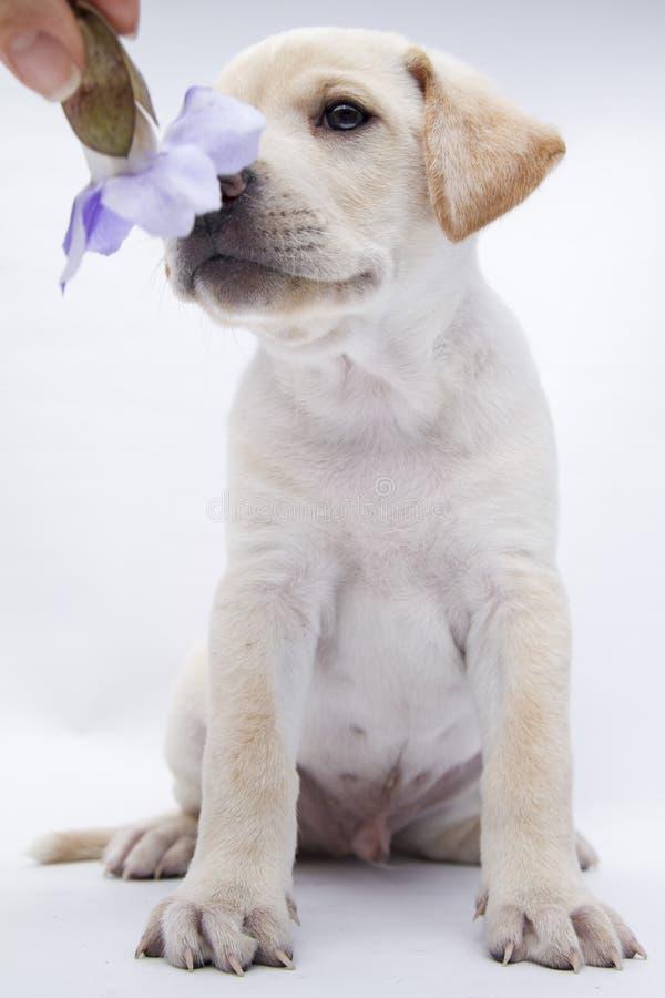 Красивой щенок спасенный белизной сидит на белизне предпосылки с розой стоковое фото
