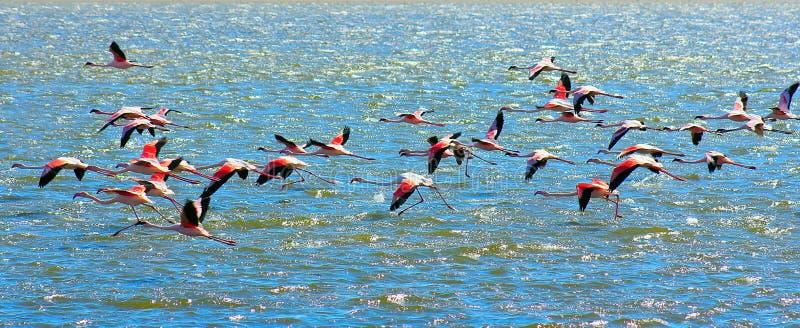 Красивые африканские розовые мухы фламинго над морем стоковые изображения