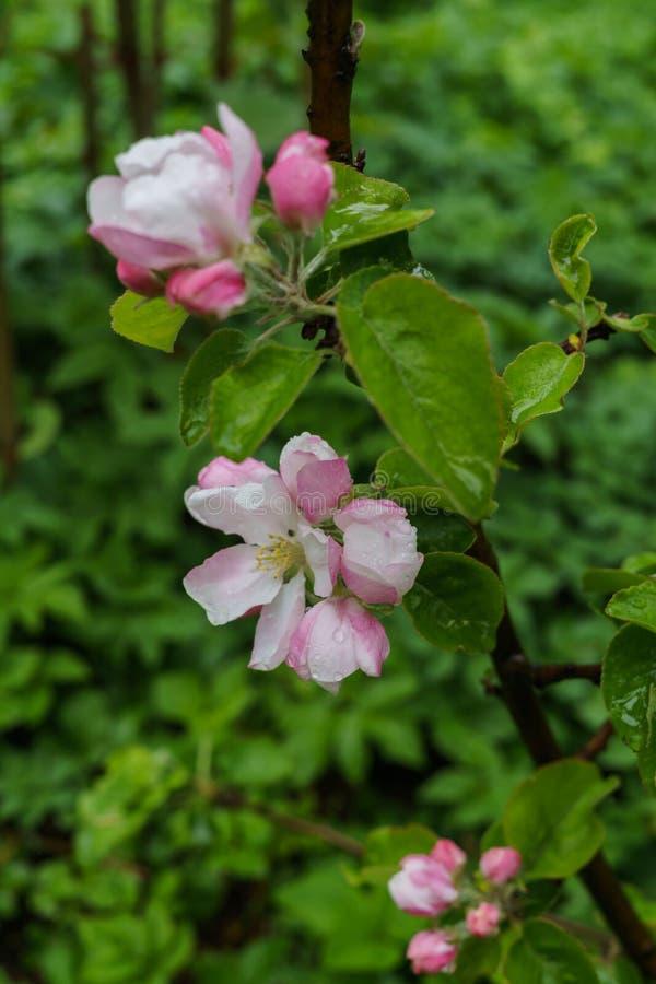 Красивые бело-розовые цветки яблони на ветви весной, после дождя стоковая фотография rf