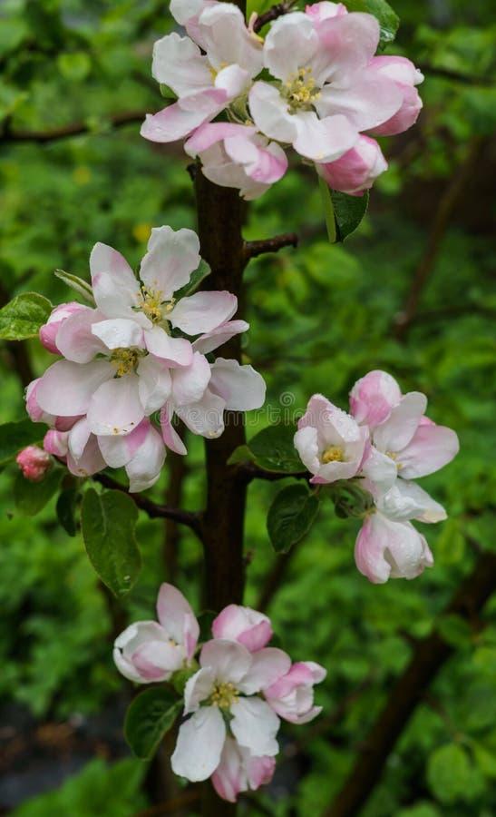 Красивые бело-розовые цветки яблони на ветви весной, после дождя стоковые изображения rf