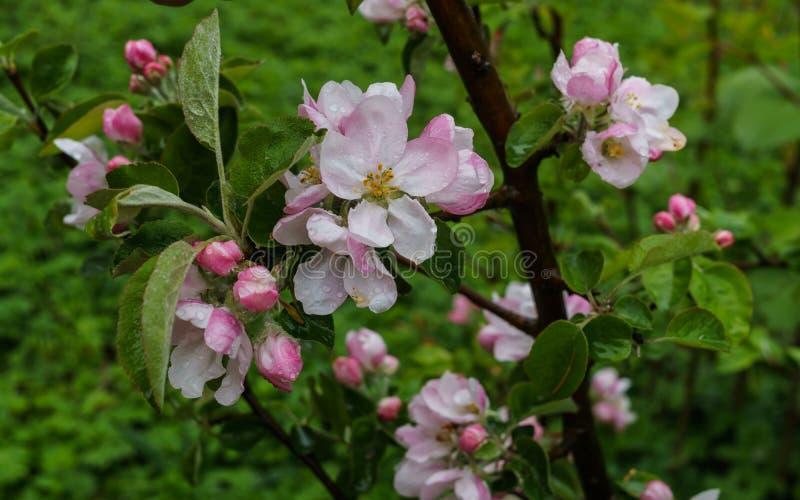 Красивые бело-розовые цветки яблони на ветви весной, после дождя стоковые фотографии rf