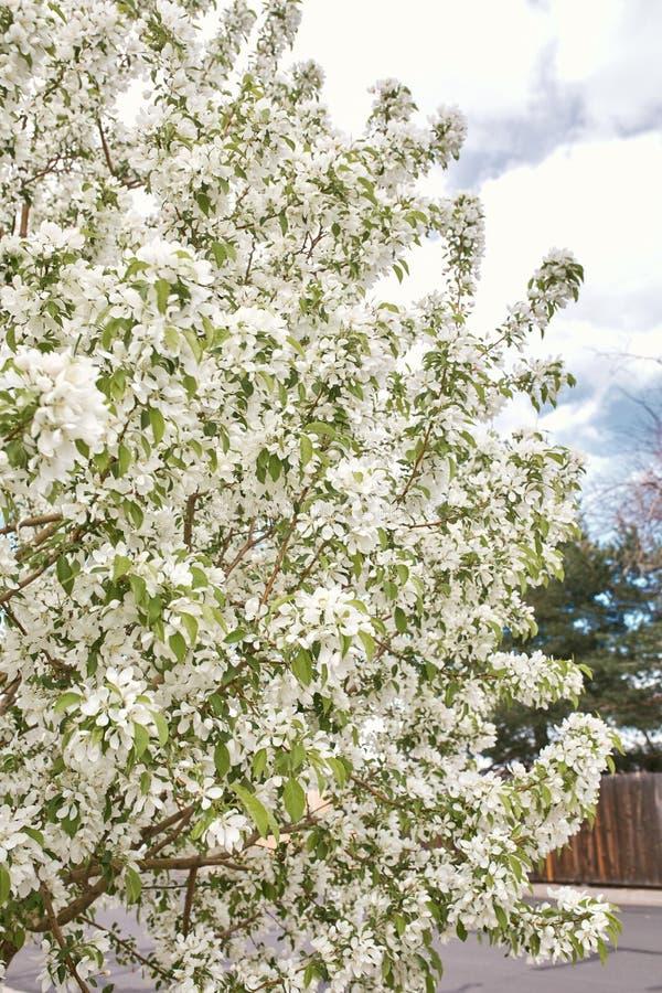 Красивые белые вишневые цвета на весенний день стоковые фото