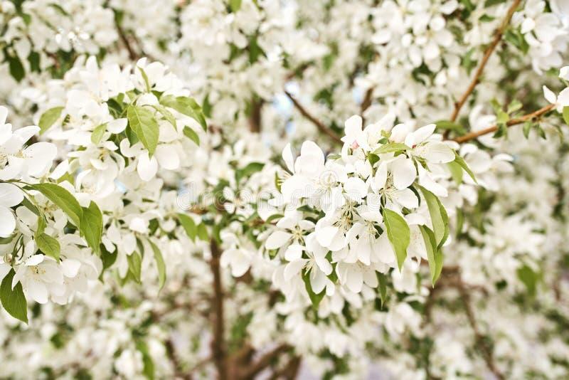 Красивые белые вишневые цвета на весенний день стоковые изображения rf