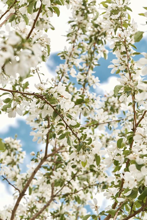 Красивые белые вишневые цвета на весенний день стоковое изображение rf