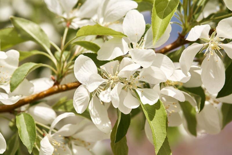 Красивые белые вишневые цвета на весенний день стоковое фото