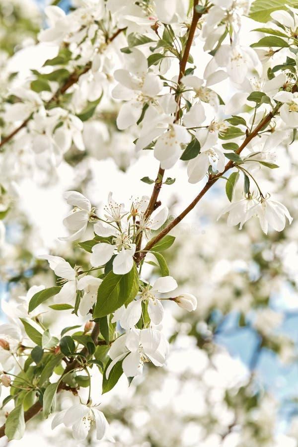 Красивые белые вишневые цвета на весенний день стоковые фотографии rf