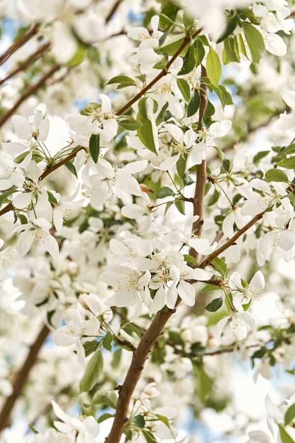 Красивые белые вишневые цвета на весенний день стоковое фото rf