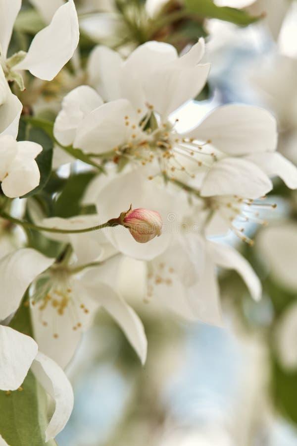 Красивые белые вишневые цвета на весенний день стоковая фотография rf