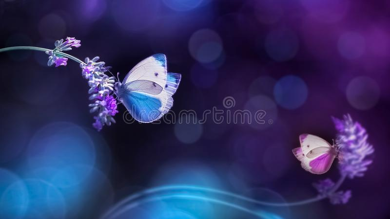 Красивые белые голубые бабочки на цветках лаванды Изображение весны лета естественное в голубых и фиолетовых тонах стоковая фотография rf