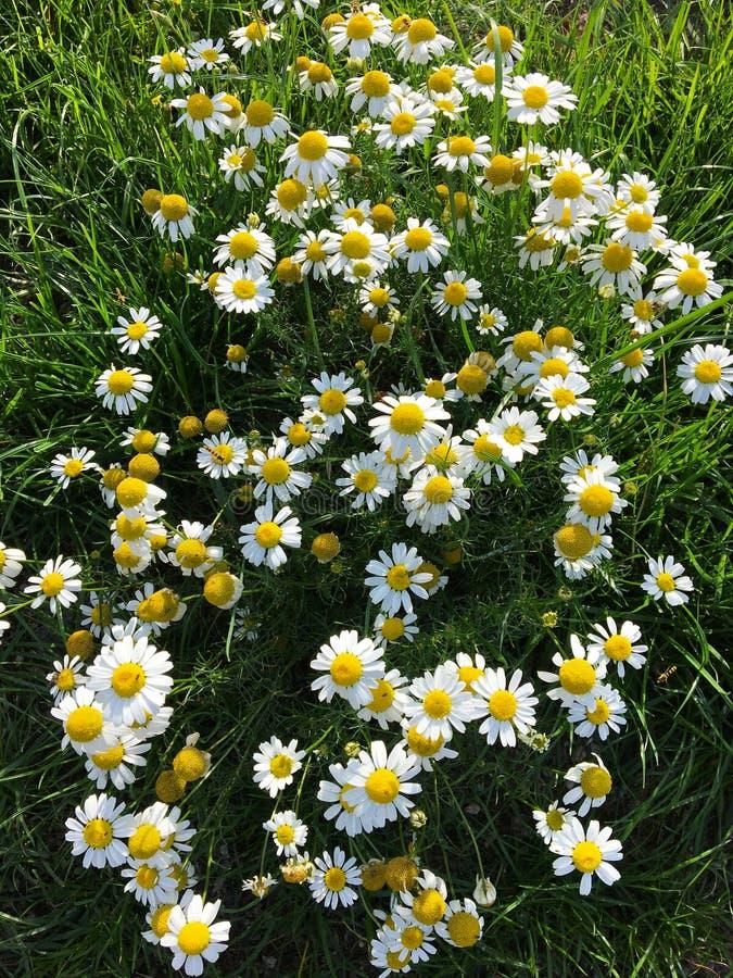 Красивые белые и желтые цветные цветочные ромашковые цветы стоковое изображение
