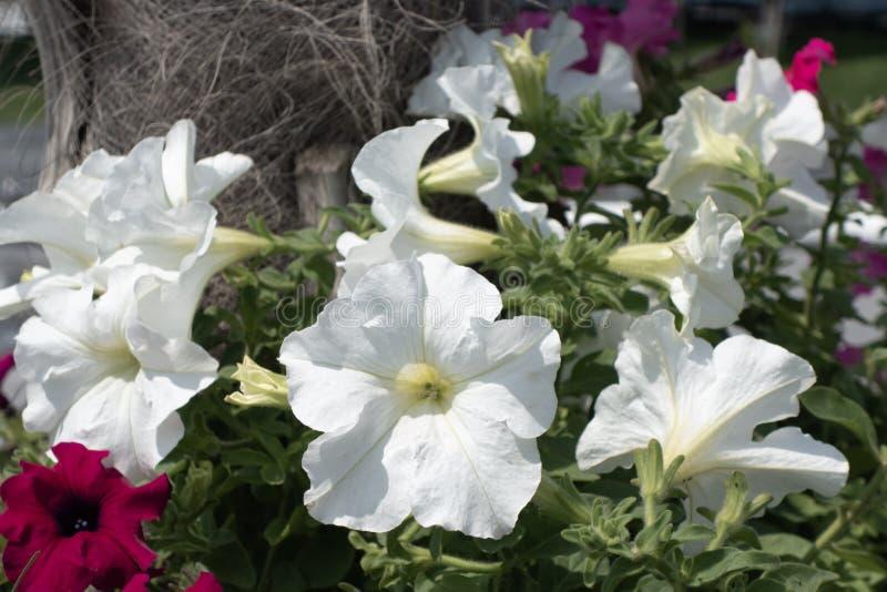 Красивые белые и красные цветки на ясный солнечный день стоковые изображения rf