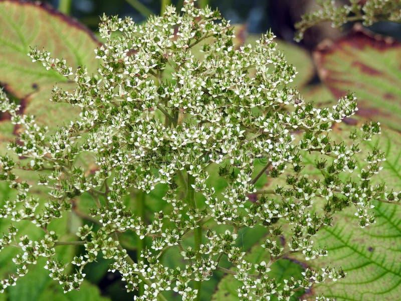 Красивые белые полевые цветки, Литва стоковое изображение rf