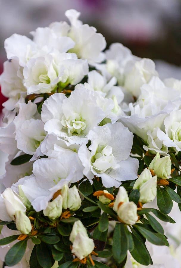 Красивые белые цветки азалии стоковая фотография