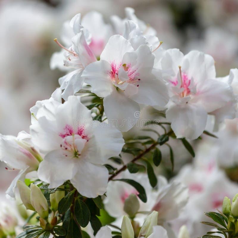 Красивые белые цветки азалии стоковые изображения