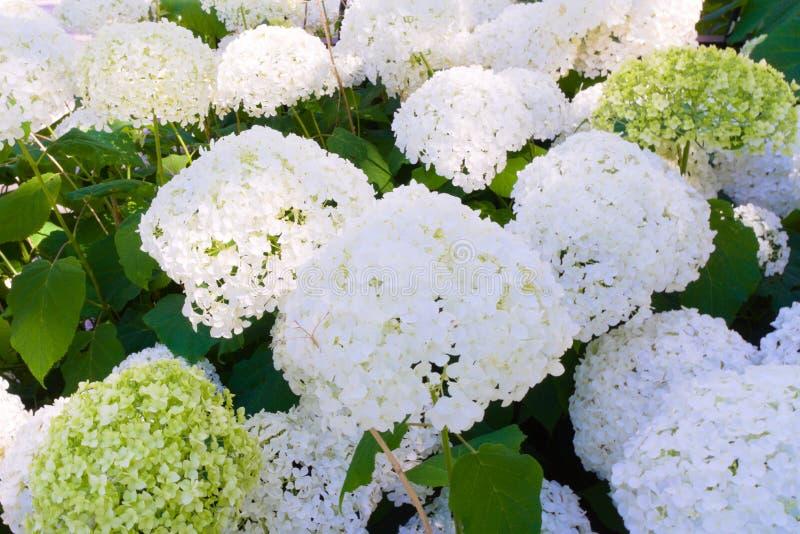 Красивые белые цветки зацветая в саде стоковые изображения