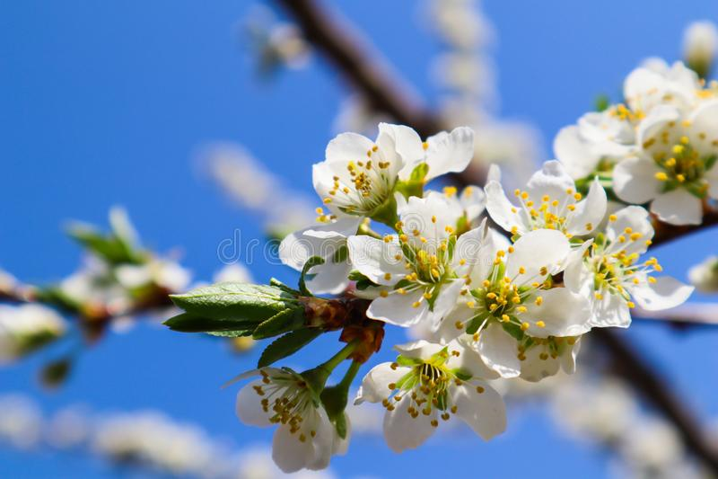 Красивые белые цветки сливы весной против голубого неба стоковые изображения