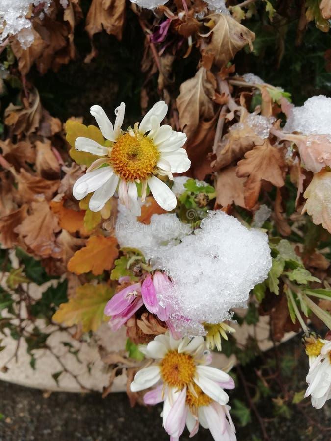 Красивые белые цветки стоцвета покрытые со снегом стоковые изображения