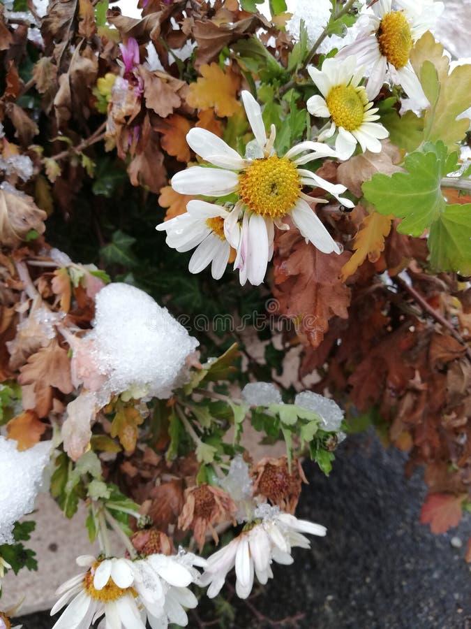 Красивые белые цветки стоцвета покрытые со снегом стоковые фото