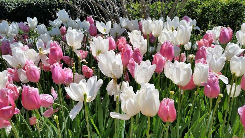 Красивые белые и розовые тюльпаны в саде стоковое фото