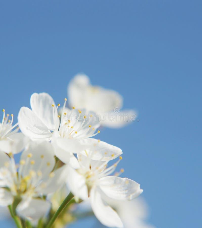 Красивые белые цветки против голубого неба стоковое изображение rf