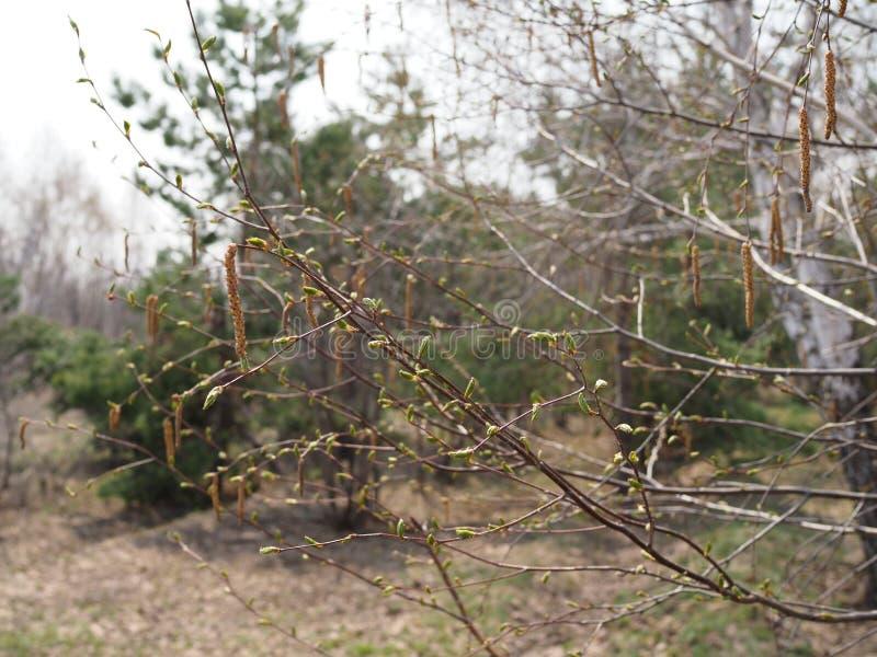 Красивые ветви березы с цвести листьями на солнечный весенний день в лесе стоковые фотографии rf