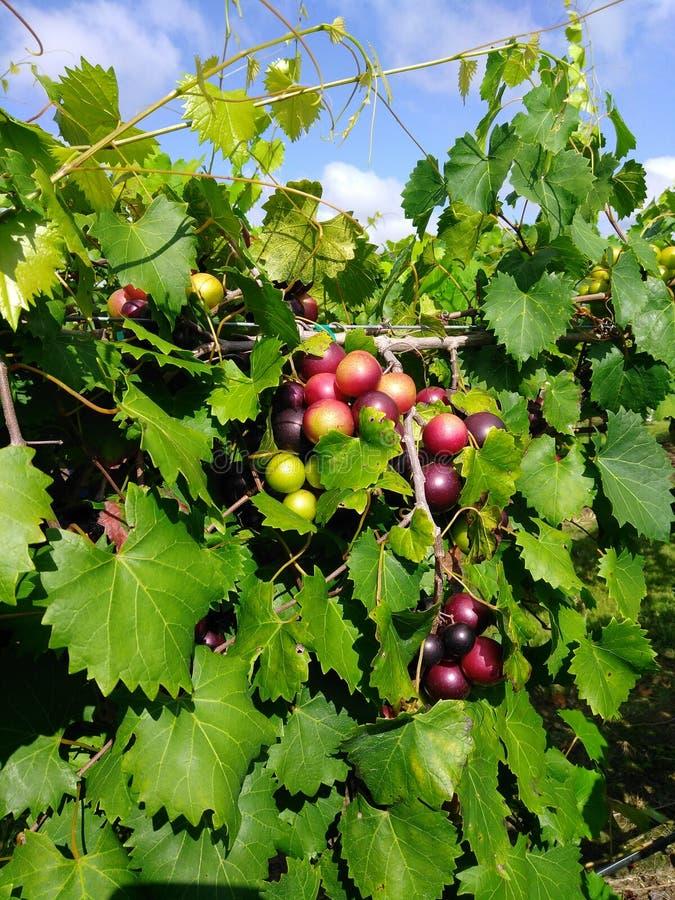 Красивые виноградины, от NC стоковое изображение