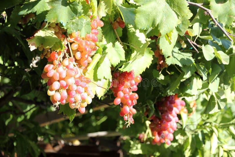 Красивые виноградины вина Крит Греция стоковые фотографии rf