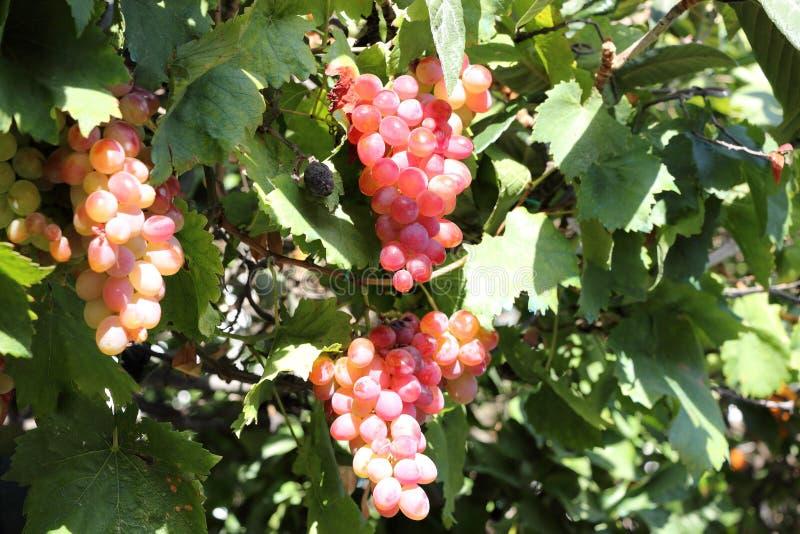 Красивые виноградины вина Крит Греция стоковое фото
