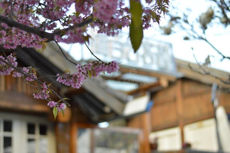 Красивые вишневые цвета в древнем городе Dali в Китае стоковая фотография