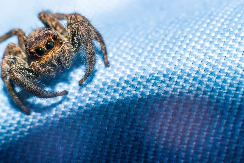 Красивые глаза скача паука стоковая фотография rf