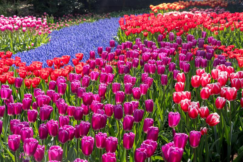 Красивые голландские цветки стоковое фото rf
