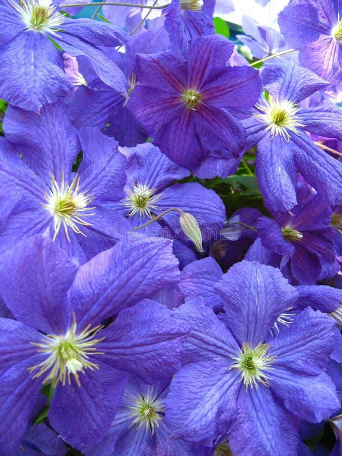 Красивые голубые цветки clematis стоковая фотография